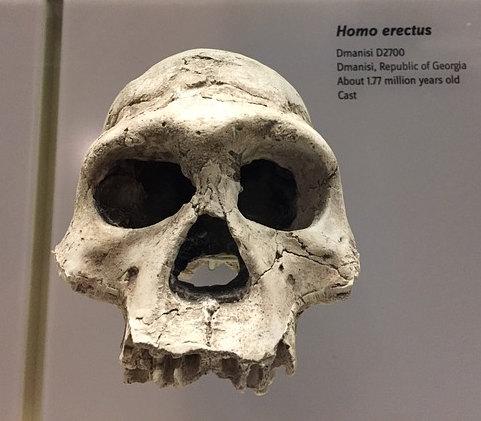 homo-erectus-teschio